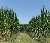 Prepare to get lost in the corn maze at Broemmelsiek Park!