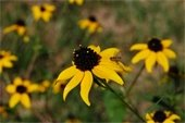 Fields at Broemmelsiek Park are converted into Pollinator Prairies.