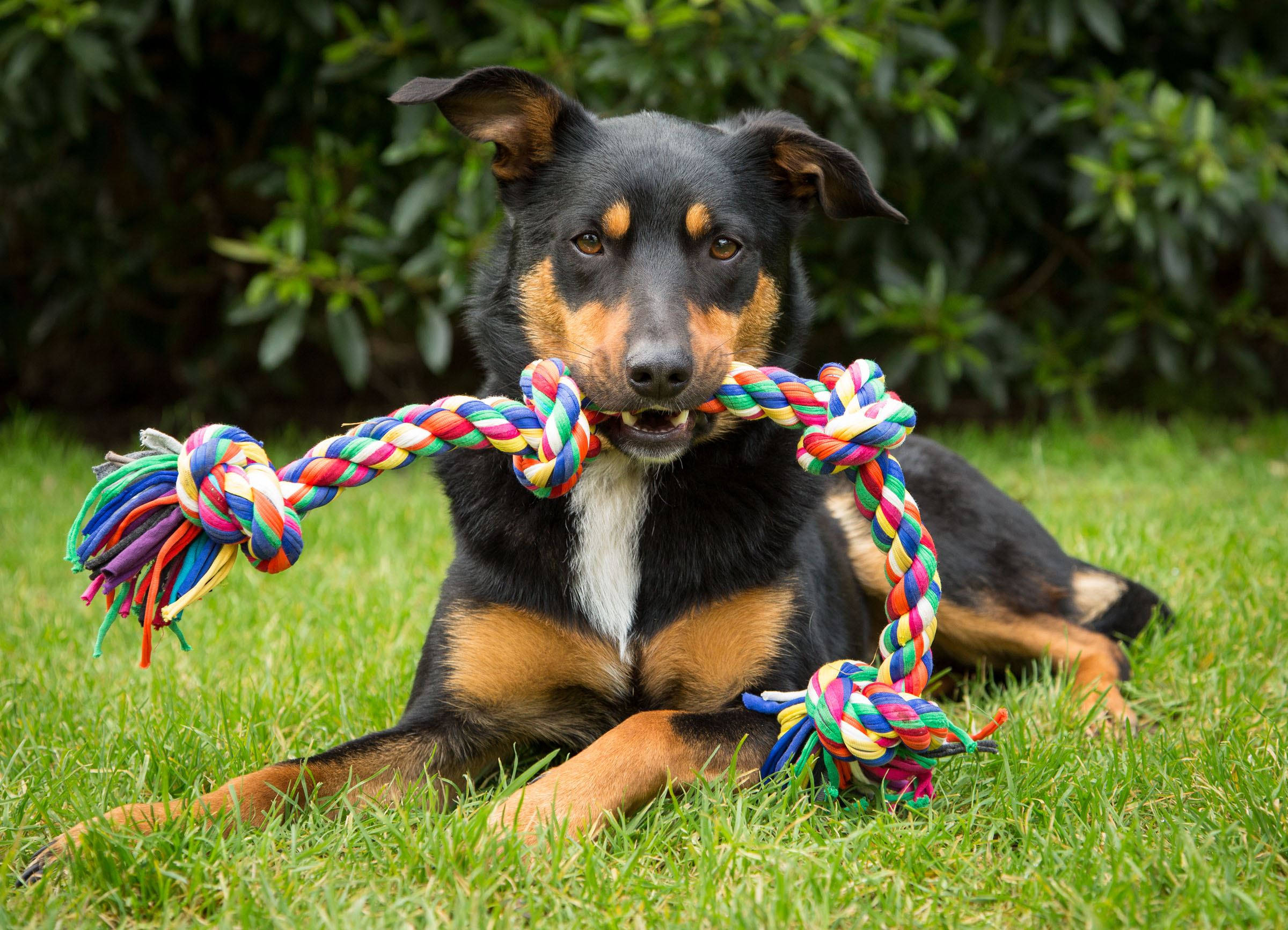 Dog with pull toy playing fetch