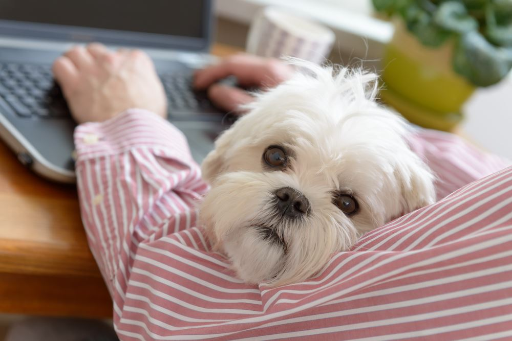 Fluffy white dog with man on computer