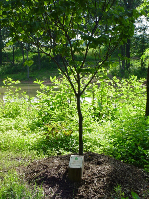 Commemorative Tree Example