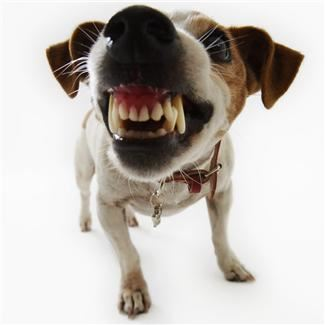 Photo of a dog smiling and showing teeth