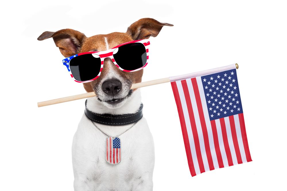 Photo of a Jack Russell terrier holding an American flag in his mouth