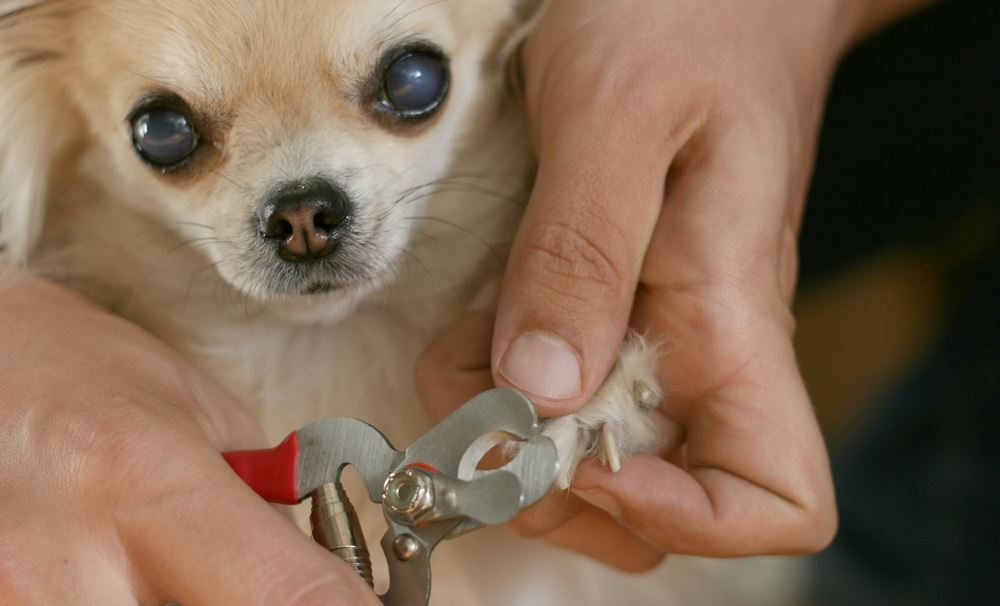 dog nail clipping