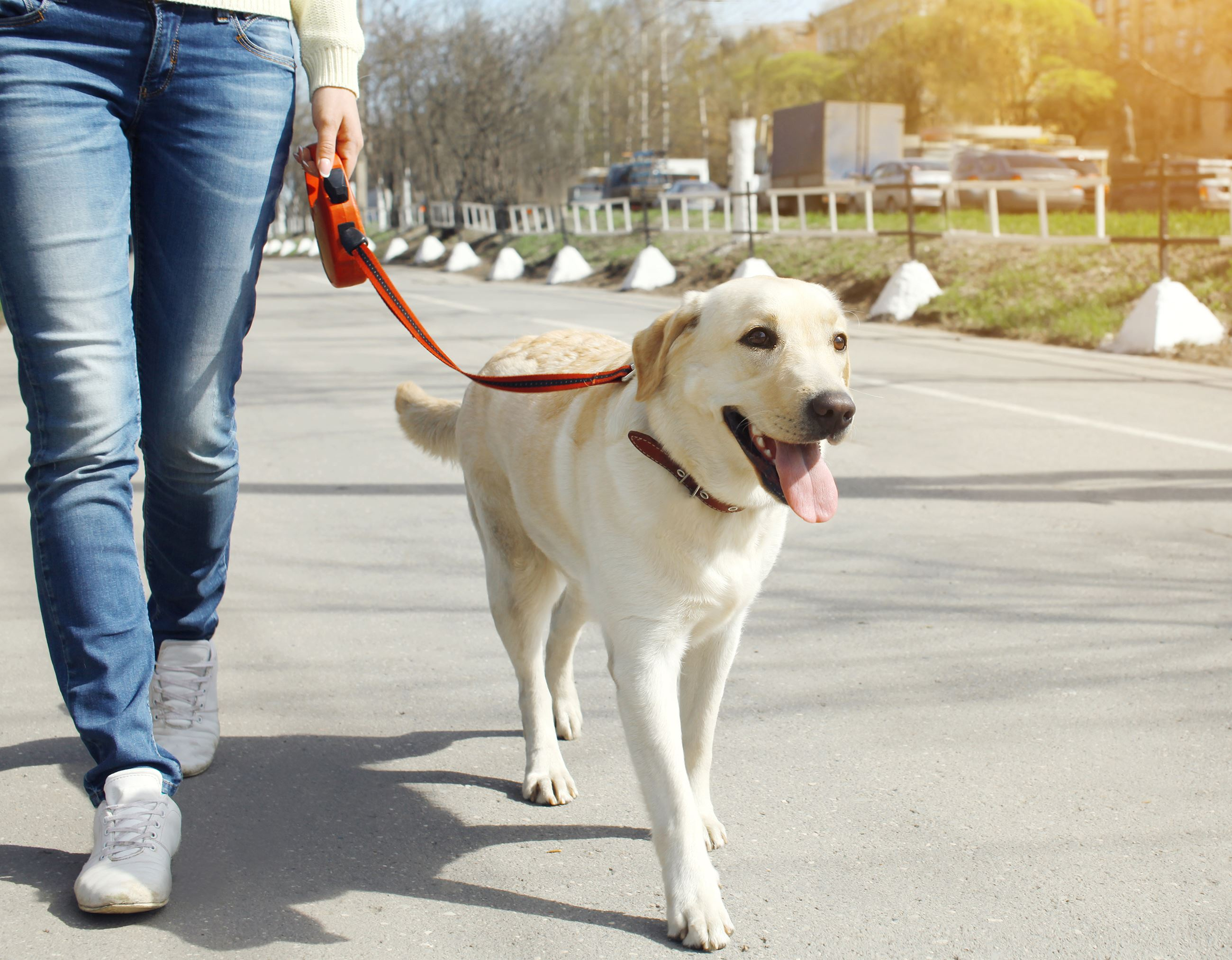 Female walking a labrador retriever dog